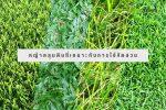 หญ้าคลุมดินที่เหมาะกับการใช้จัดสวน